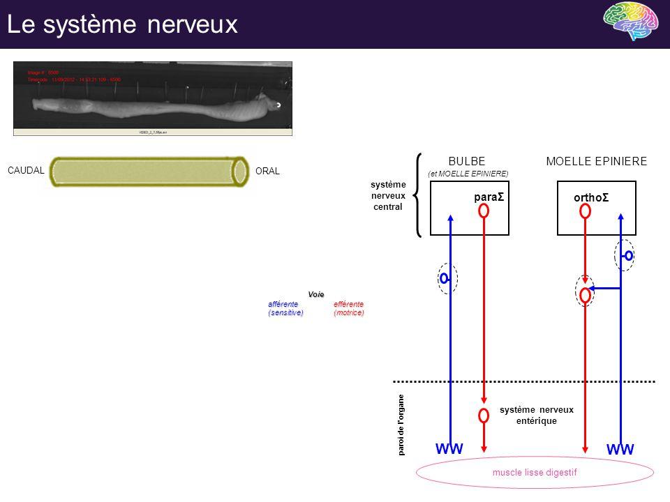 Le système nerveux WW paraΣ orthoΣ BULBE MOELLE EPINIERE Voie CAUDAL