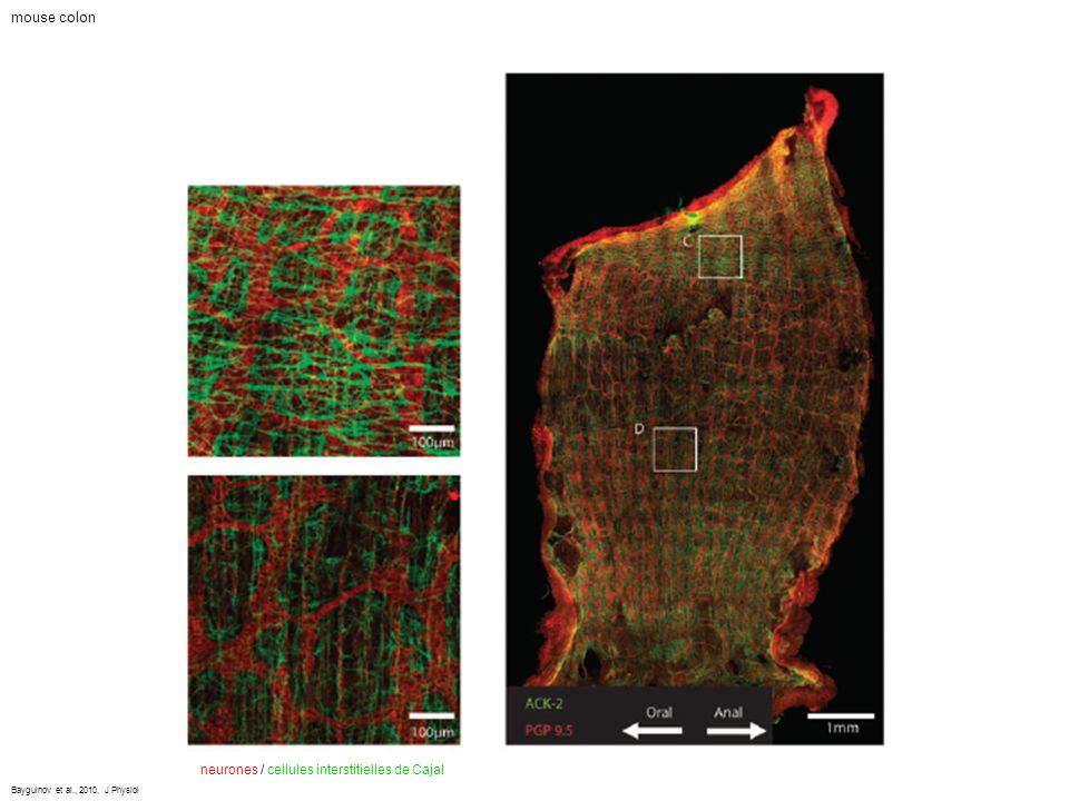 mouse colon neurones / cellules interstitielles de Cajal