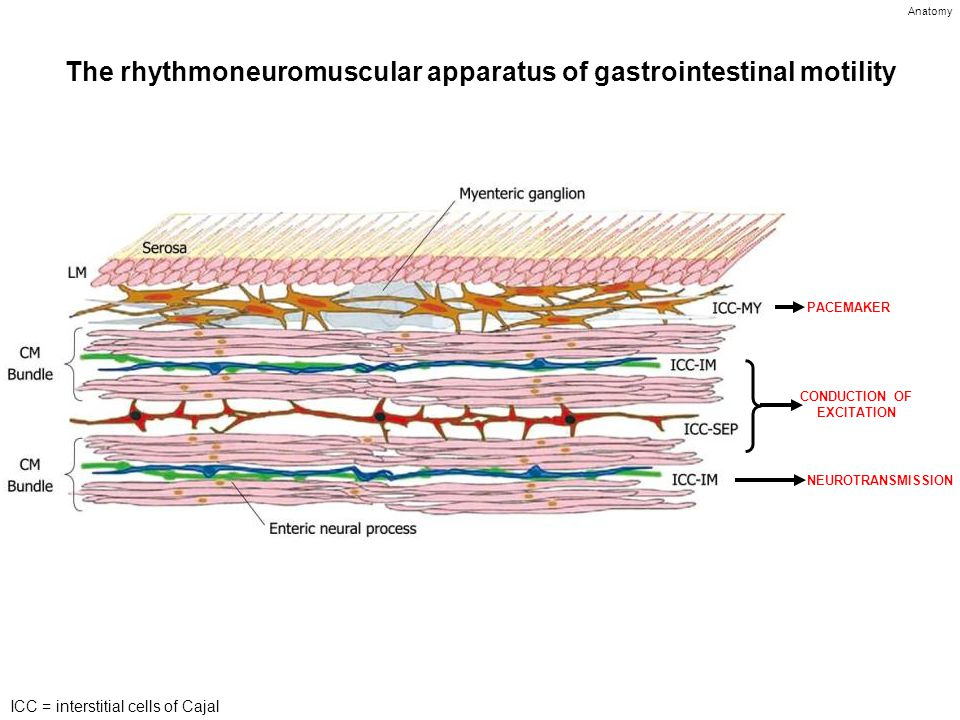 The rhythmoneuromuscular apparatus of gastrointestinal motility