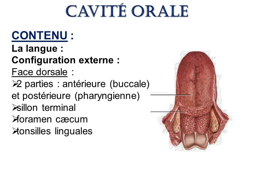 Cavité orale CONTENU : La langue : Configuration externe :