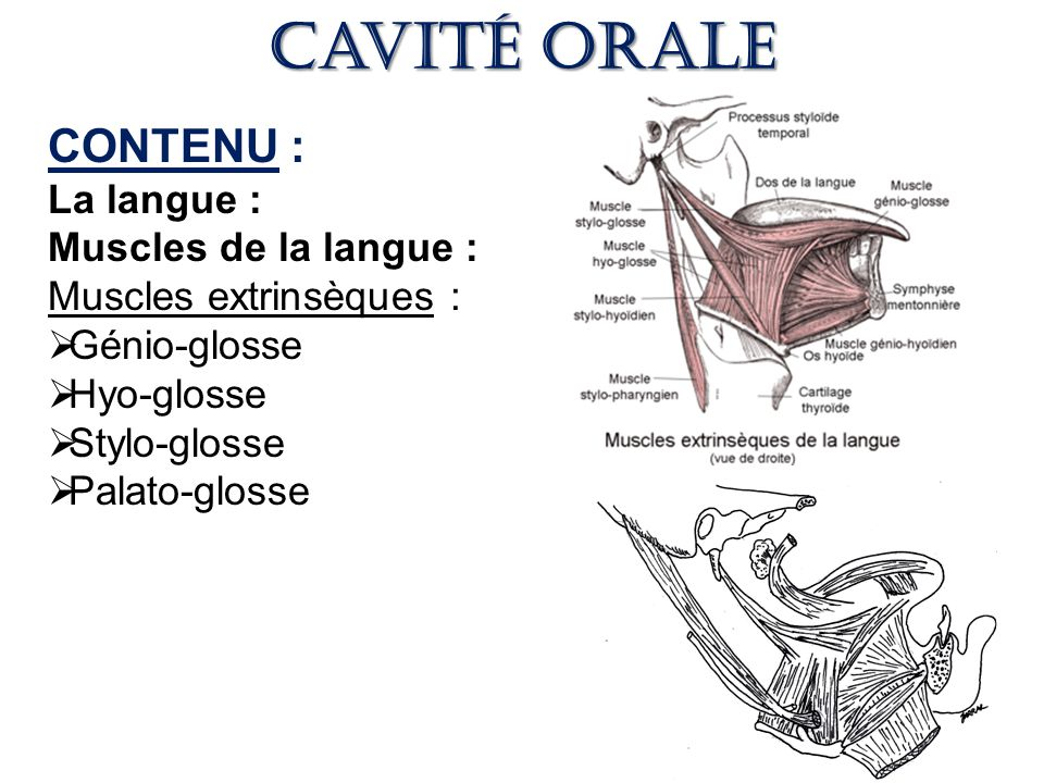 Cavité orale CONTENU : La langue : Muscles de la langue :