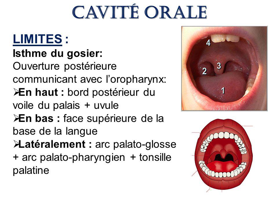 Cavité orale LIMITES : Isthme du gosier: