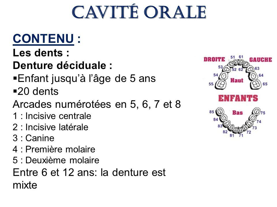 Cavité orale CONTENU : Les dents : Denture déciduale :
