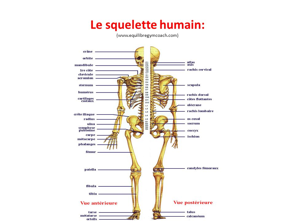Le squelette humain: (www.equilibregymcoach.com)