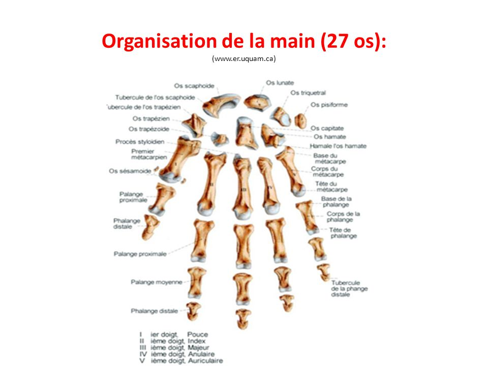 Organisation de la main (27 os): (www.er.uquam.ca)