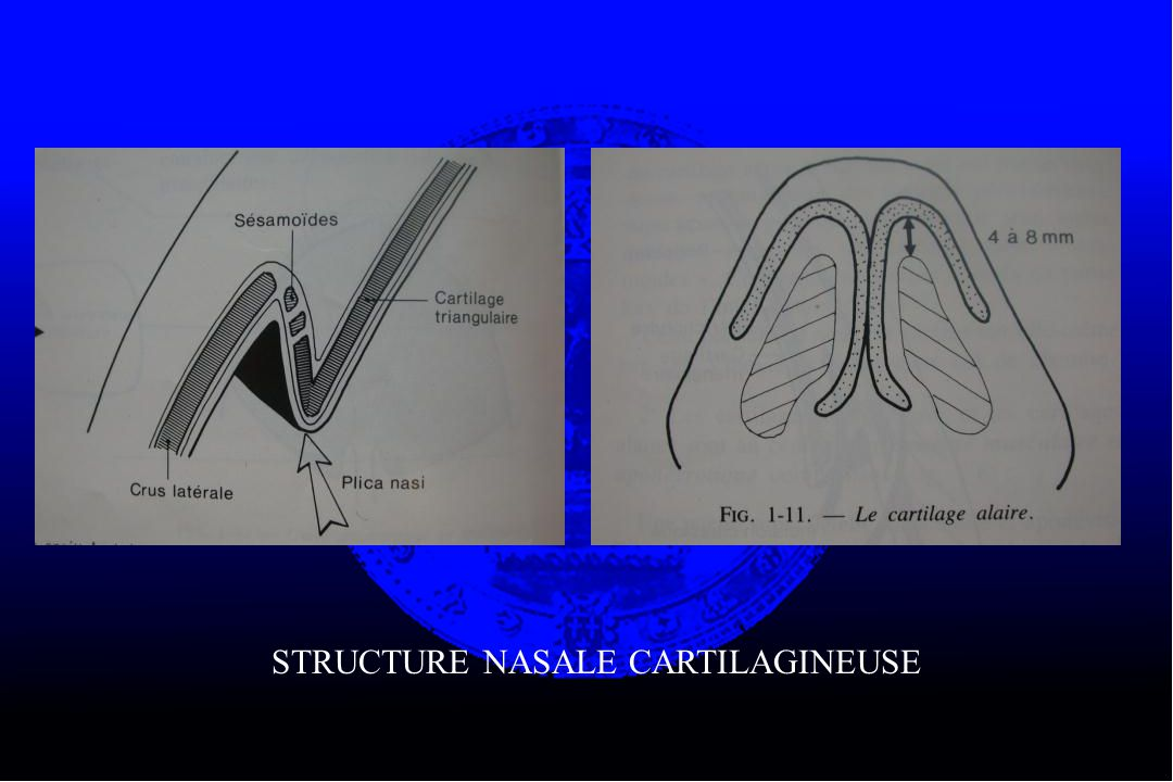 STRUCTURE NASALE CARTILAGINEUSE