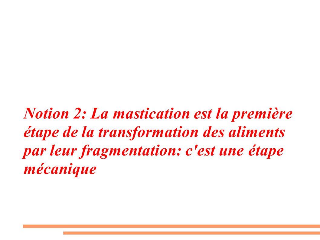 Notion 2: La mastication est la première étape de la transformation des aliments par leur fragmentation: c est une étape mécanique