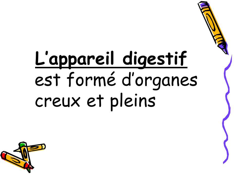 L'appareil digestif est formé d'organes creux et pleins