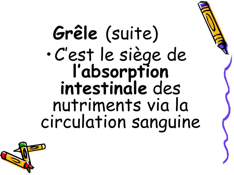 Grêle (suite) C'est le siège de l'absorption intestinale des nutriments via la circulation sanguine
