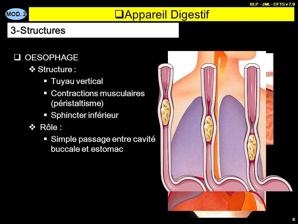 Appareil Digestif 3-Structures OESOPHAGE Structure : Tuyau vertical