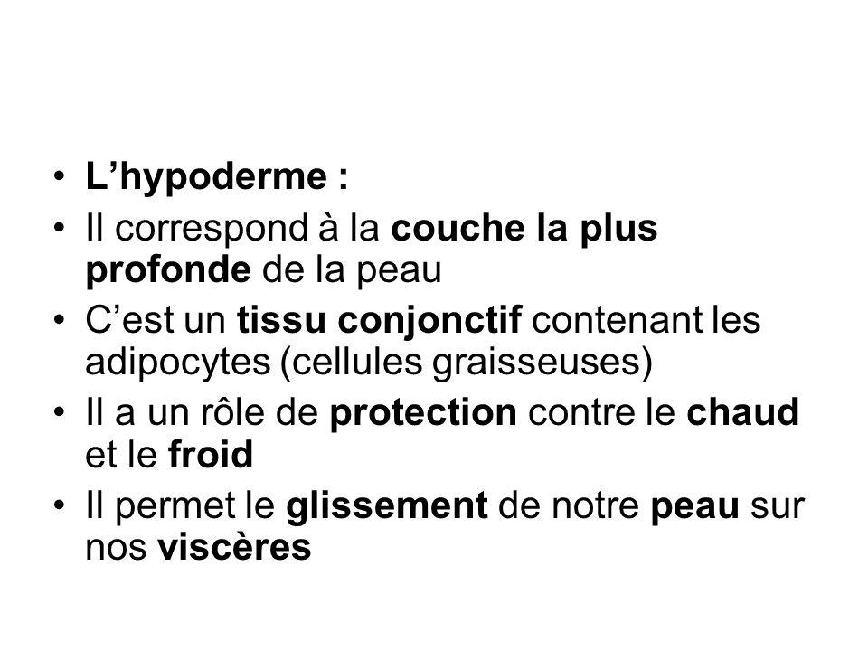 L'hypoderme : Il correspond à la couche la plus profonde de la peau. C'est un tissu conjonctif contenant les adipocytes (cellules graisseuses)