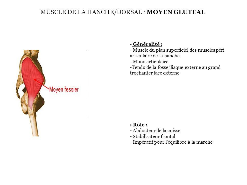 MUSCLE DE LA HANCHE/DORSAL : MOYEN GLUTEAL