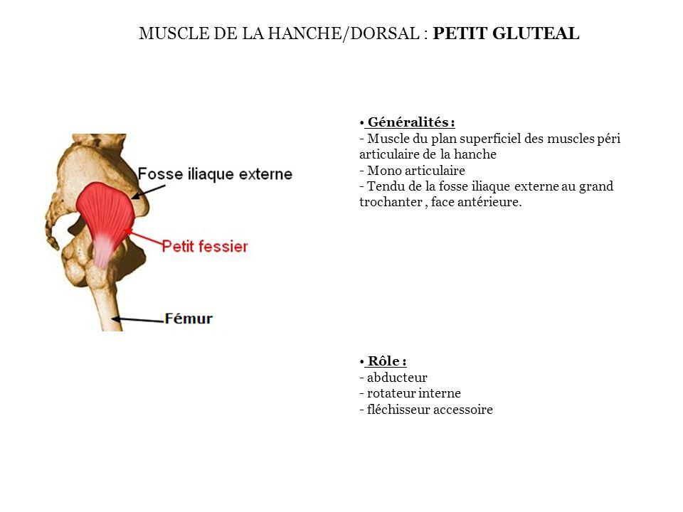 MUSCLE DE LA HANCHE/DORSAL : PETIT GLUTEAL