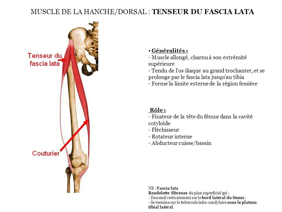 MUSCLE DE LA HANCHE/DORSAL : TENSEUR DU FASCIA LATA