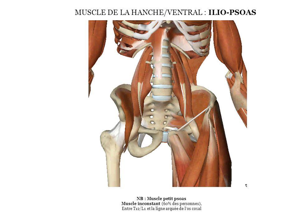 MUSCLE DE LA HANCHE/VENTRAL : ILIO-PSOAS