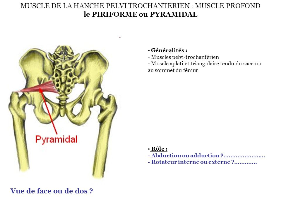 MUSCLE DE LA HANCHE PELVI TROCHANTERIEN : MUSCLE PROFOND le PIRIFORME ou PYRAMIDAL