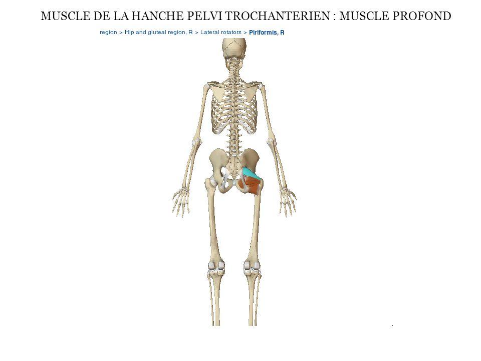 MUSCLE DE LA HANCHE PELVI TROCHANTERIEN : MUSCLE PROFOND