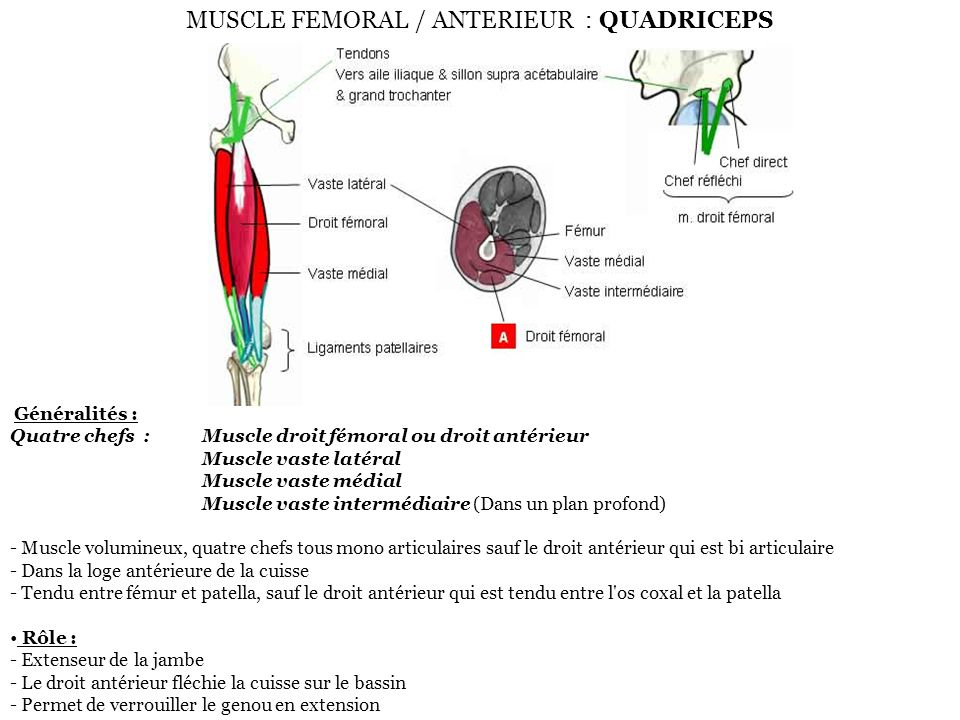 MUSCLE FEMORAL / ANTERIEUR : QUADRICEPS
