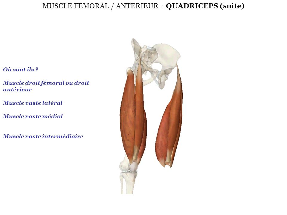 MUSCLE FEMORAL / ANTERIEUR : QUADRICEPS (suite)