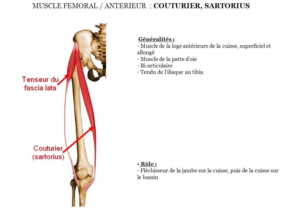 MUSCLE FEMORAL / ANTERIEUR : COUTURIER, SARTORIUS