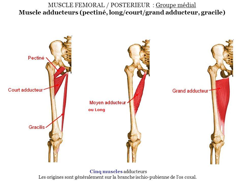 MUSCLE FEMORAL / POSTERIEUR : Groupe médial Muscle adducteurs (pectiné, long/court/grand adducteur, gracile)