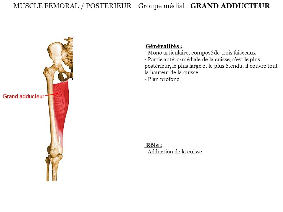 MUSCLE FEMORAL / POSTERIEUR : Groupe médial : GRAND ADDUCTEUR