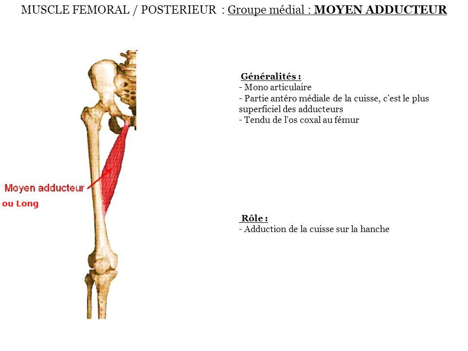 MUSCLE FEMORAL / POSTERIEUR : Groupe médial : MOYEN ADDUCTEUR