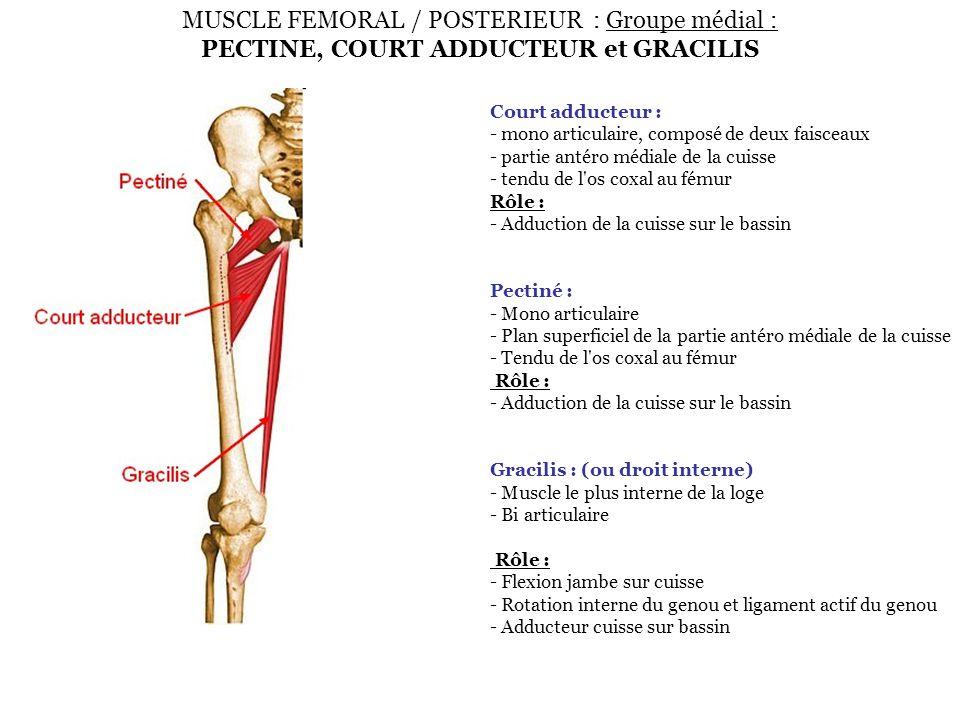 MUSCLE FEMORAL / POSTERIEUR : Groupe médial : PECTINE, COURT ADDUCTEUR et GRACILIS