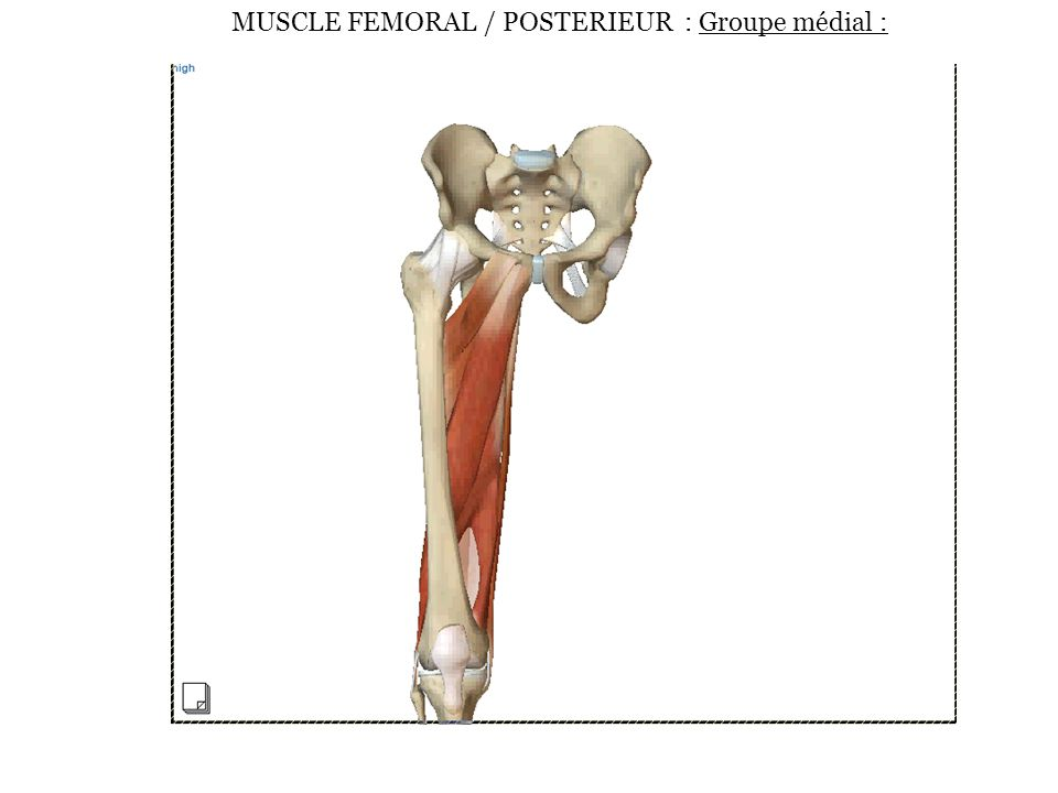MUSCLE FEMORAL / POSTERIEUR : Groupe médial :