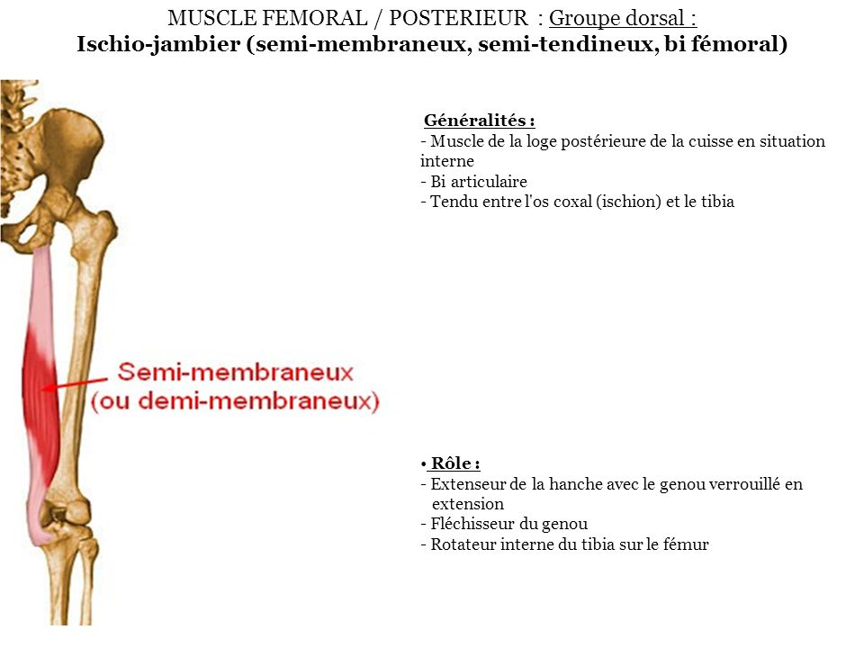 MUSCLE FEMORAL / POSTERIEUR : Groupe dorsal : Ischio-jambier (semi-membraneux, semi-tendineux, bi fémoral)