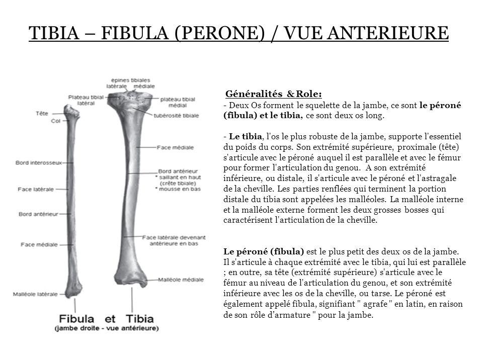 TIBIA – FIBULA (PERONE) / VUE ANTERIEURE