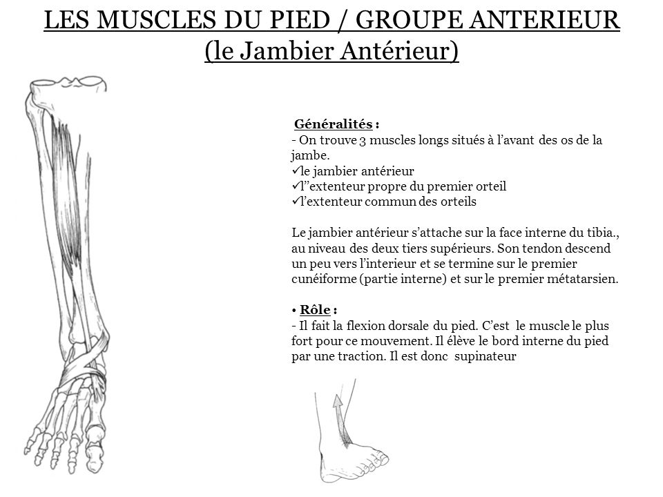 LES MUSCLES DU PIED / GROUPE ANTERIEUR (le Jambier Antérieur)