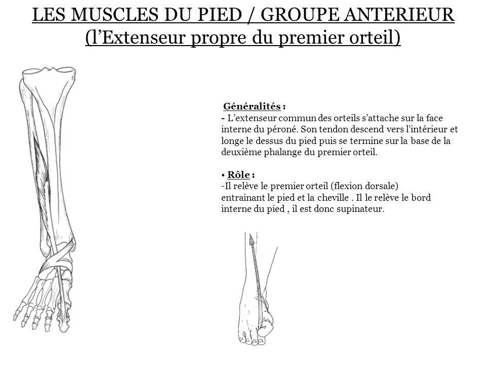 LES MUSCLES DU PIED / GROUPE ANTERIEUR