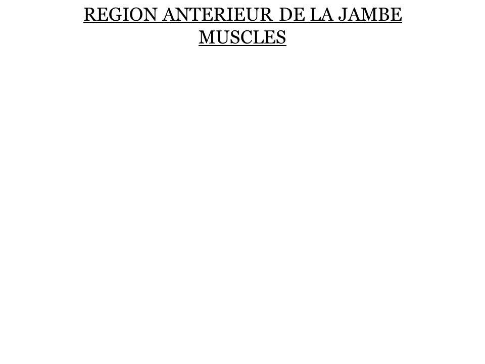 REGION ANTERIEUR DE LA JAMBE