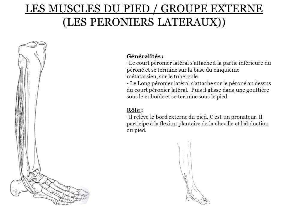 LES MUSCLES DU PIED / GROUPE EXTERNE (LES PERONIERS LATERAUX))