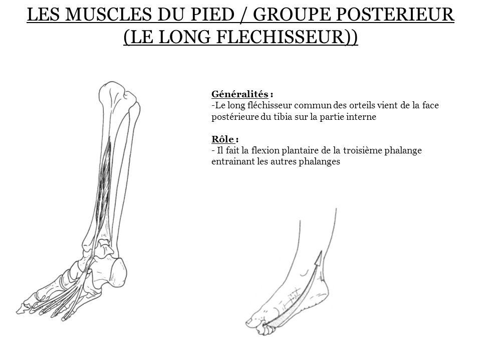 LES MUSCLES DU PIED / GROUPE POSTERIEUR (LE LONG FLECHISSEUR))