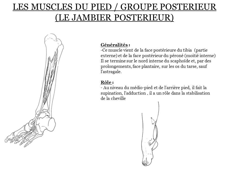 LES MUSCLES DU PIED / GROUPE POSTERIEUR (LE JAMBIER POSTERIEUR)
