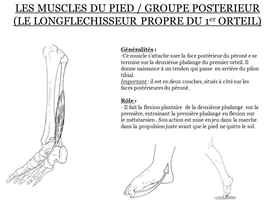 LES MUSCLES DU PIED / GROUPE POSTERIEUR