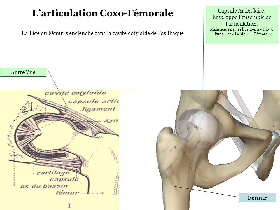 L'articulation Coxo-Fémorale La Tête du Fémur s'enclenche dans la cavité cotyloïde de l'os Iliaque