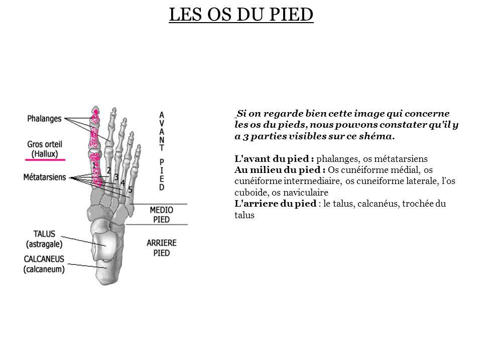 LES OS DU PIED Si on regarde bien cette image qui concerne les os du pieds, nous pouvons constater qu il y a 3 parties visibles sur ce shéma.
