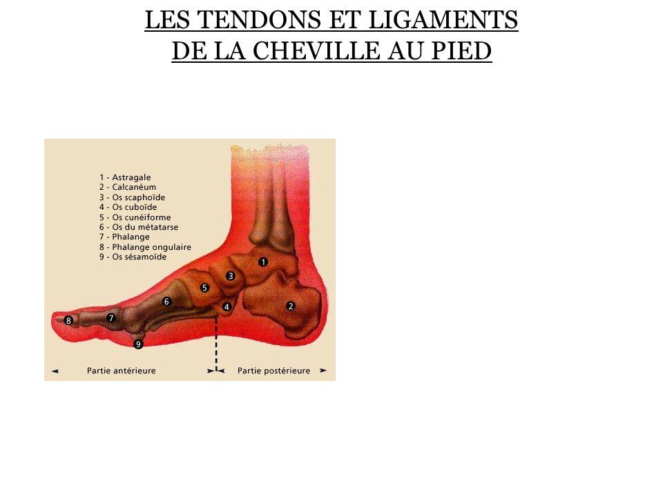 Les Tendons et ligaments