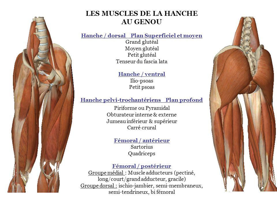 LES MUSCLES DE LA HANCHE AU GENOU