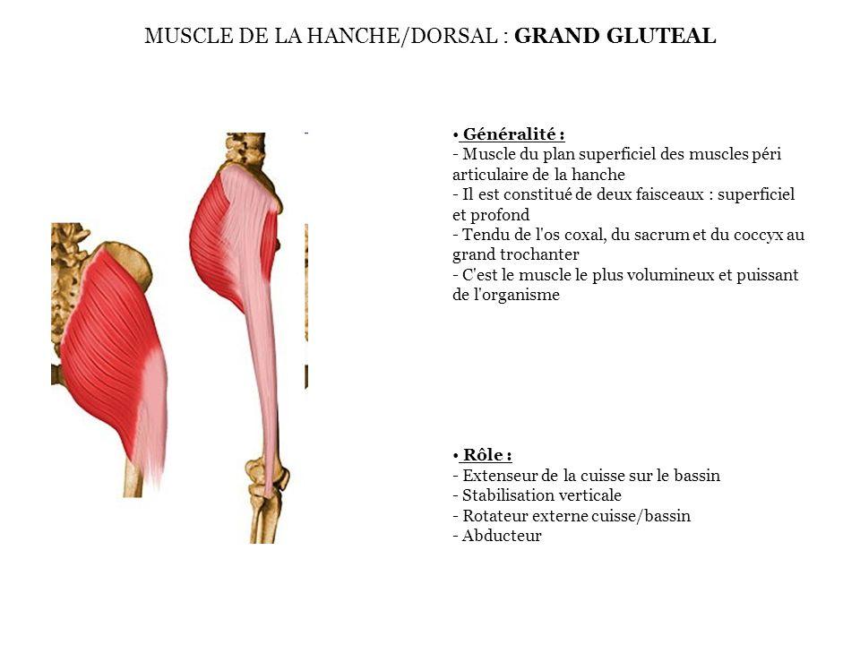 MUSCLE DE LA HANCHE/DORSAL : GRAND GLUTEAL