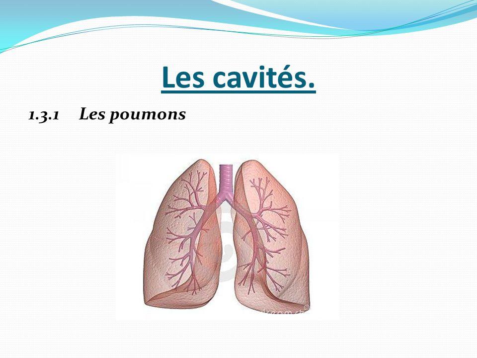 Les cavités. 1.3.1 Les poumons