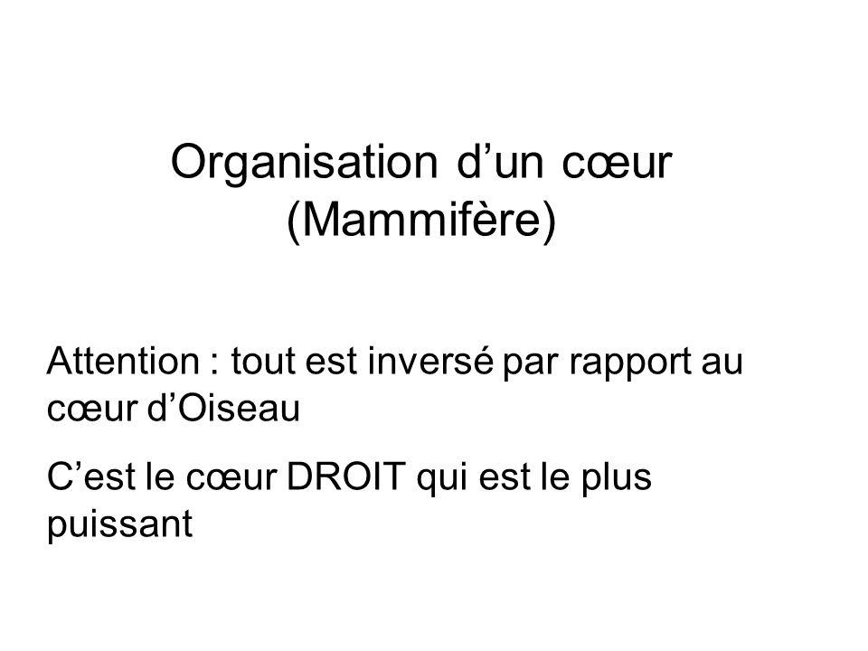 Organisation d'un cœur (Mammifère)