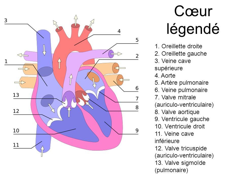 Cœur légendé 1. Oreillette droite 2. Oreillette gauche
