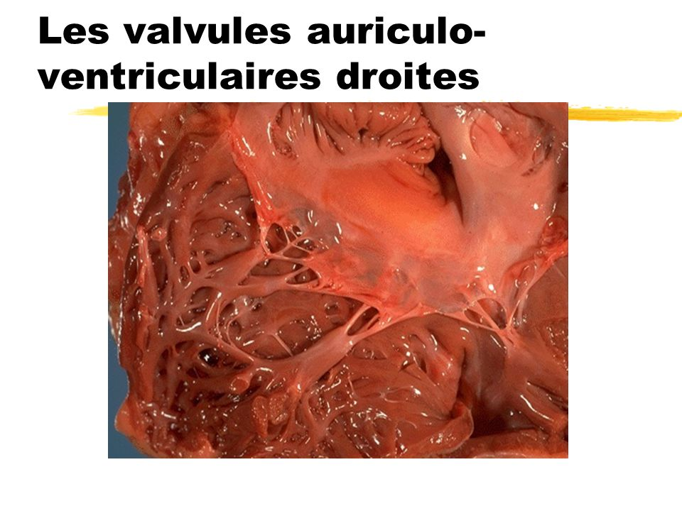 Les valvules auriculo-ventriculaires droites