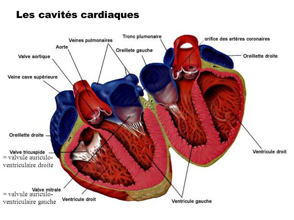 Les cavités cardiaques