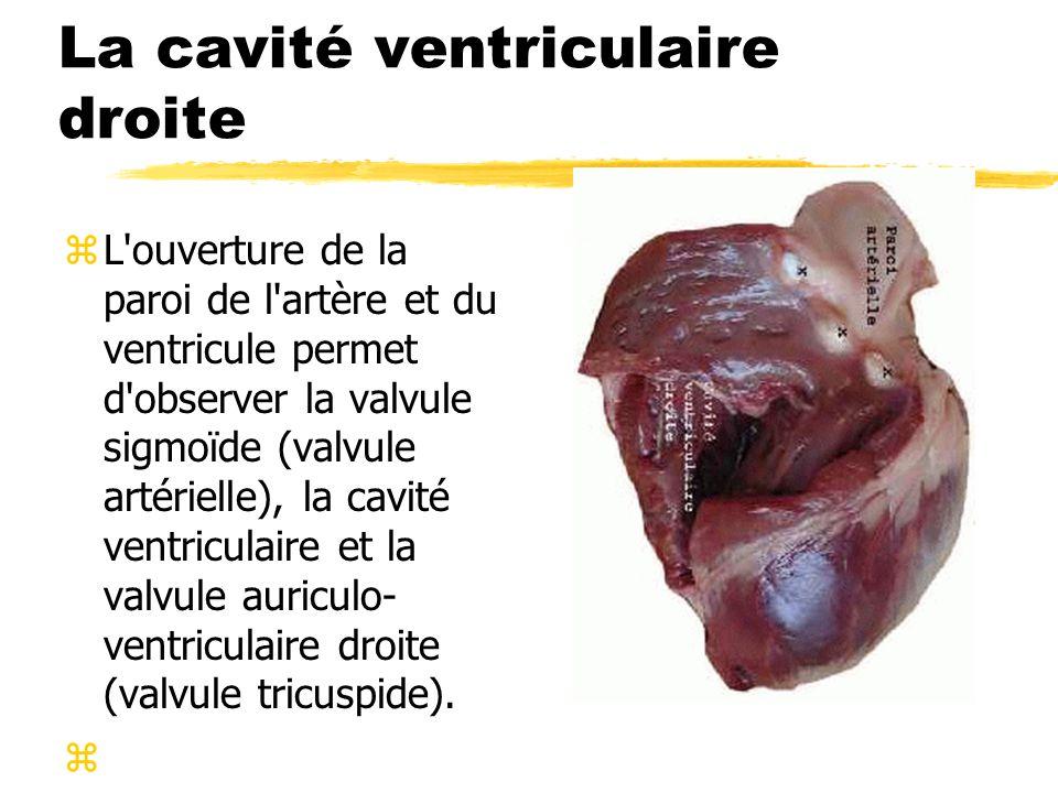 La cavité ventriculaire droite