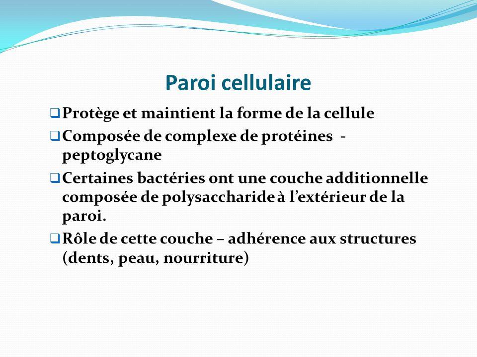 Paroi cellulaire Protège et maintient la forme de la cellule